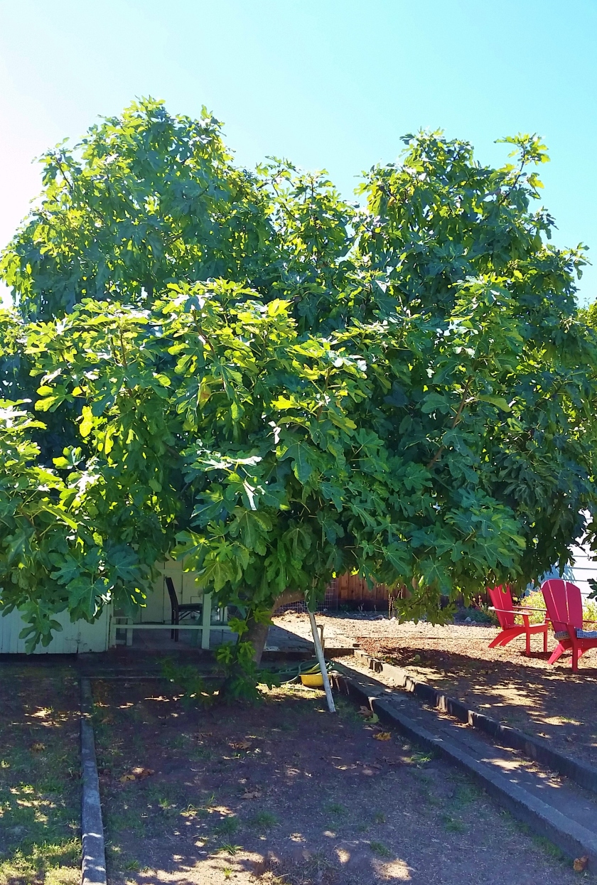 The fig tree, doing its best to feed everybody. EVERYBODY.